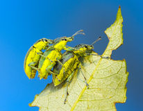 Three weevil Royalty Free Stock Photos