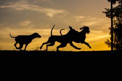 Three Weimaraner dogs play and run in nature yellow background at sunset silhouettes royalty free stock photos