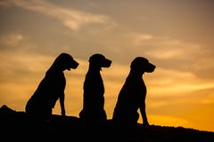 Three Weimaraner dogs are sitting in nature yellow background at sunset silhouettes royalty free stock photos