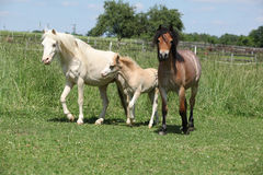 Three welsh ponnies on pasturage Royalty Free Stock Photo