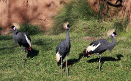 Three West African Crowned Cranes Royalty Free Stock Image