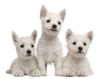 Three West Highland Terrier puppies. 7 weeks old, in front of white background stock image