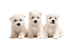 Three west highland white terrier puppies Royalty Free Stock Image