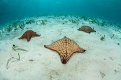 Three West Indian Starfish Stock Photography