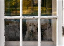 Three Westie Dogs staring out door window With Chipped Paint stock photography