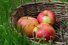 Three wet apples in an old basket. Green grass around. Stock Images