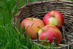 Three wet apples in an old basket. Green grass around. Stock Photo