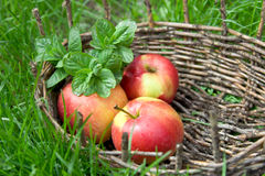 Three wet apples and twigs of lemon balm in an old basket. Green Royalty Free Stock Photo