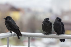 Three wet crows sitting on balcony rail Stock Image