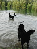 Three wet dogs playing in water Stock Image