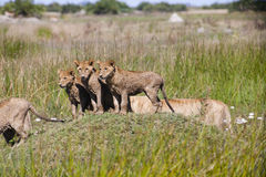 Three Wet Lion Cubs Standing on a Mound Stock Photos