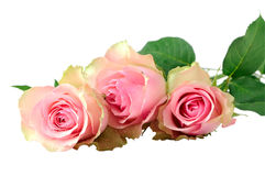 Three Wet Pink Roses Royalty Free Stock Images