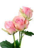 Three Wet Pink Roses Stock Image