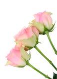Three wet pink roses Stock Photos
