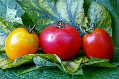 Three wet ripe tomatoes on green sheets. Ripe tomatoes on green leaves of a plant Royalty Free Stock Image