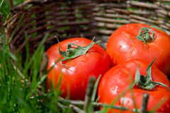 Three wet tomatoes in an old basket. Green grass around. Royalty Free Stock Photo