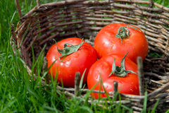 Three wet tomatoes in an old basket. Green grass around. Stock Photography