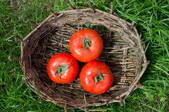 Three wet tomatoes in an old basket. Green grass around. Royalty Free Stock Image