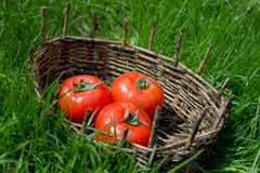 Three wet tomatoes in an old basket. Green grass around. Royalty Free Stock Photography