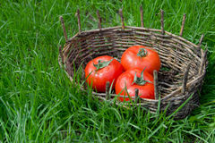 Three wet tomatoes in an old basket. Green grass around. Stock Photos
