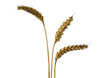 Three wheat ears. Isolated on white Stock Photography