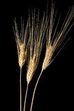 Three Wheat Ears Stock Photos