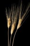 Three Wheat Ears Stock Photos