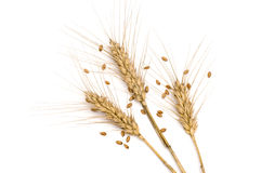 Three wheat spikes with seeds Royalty Free Stock Images