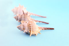 Three whelks  Royalty Free Stock Image