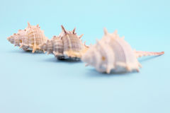 Three whelks Royalty Free Stock Photo