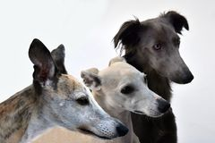 Three whippets side by side, portraits. Portraits of three cute whippet dogs. The whippet belongs to the race of the sighthounds and is closely related to the royalty free stock photo