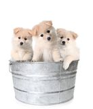 Three White Adorable Puppies In A Washtub Stock Image