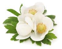 Three white anemones. Stock Photos