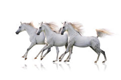 Three white arab horses on white Royalty Free Stock Images