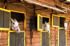 Three white Arabian horses looking out from their boxes Royalty Free Stock Image
