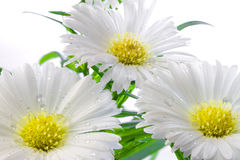 Three white Asters. With drops of water Royalty Free Stock Images