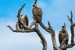 Three White-backed vultures in a tree Stock Images