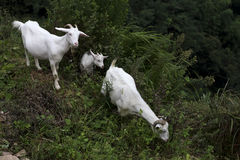 Three white Boer goats in the slope royalty free stock photo