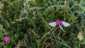 Three white butterflies on purple carnation closeup stock photography