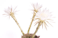 Three white cactus flowers Stock Image