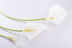 Three white  calla lilies Stock Image