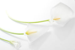 Three white  calla lilies Stock Photography