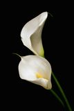 Three white Calla lily on a black background Royalty Free Stock Photo