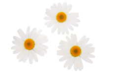 Three white camomiles. Three white camomiles isolated on white Royalty Free Stock Image