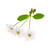 Three white cherry tree flowers Royalty Free Stock Photo