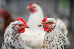 Three white chichens on a farm Royalty Free Stock Images
