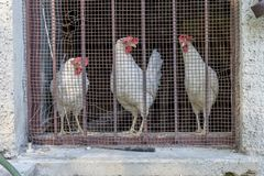 Chickens behind a barred window. Three white chickens behind a barred window stock photo