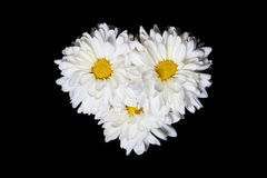Three White Chrysanthemum Flowers with Yellow Center Isolated on Black Background Stock Images