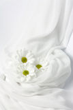 Three white chrysanthemums Stock Photo