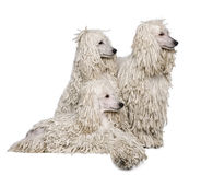 Three White Corded standard Poodles Stock Images